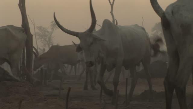 a cattle camp in south sudan - スーダン点の映像素材/bロール