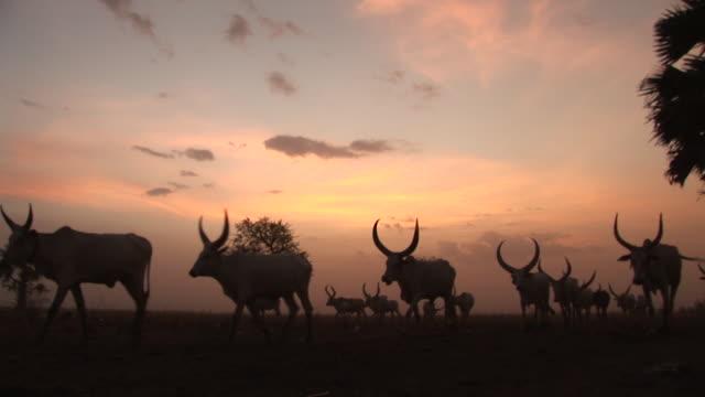 vídeos de stock, filmes e b-roll de a cattle camp in south sudan - sudão