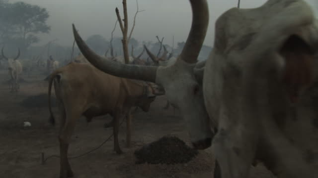 stockvideo's en b-roll-footage met a cattle camp in south sudan - gehoornd