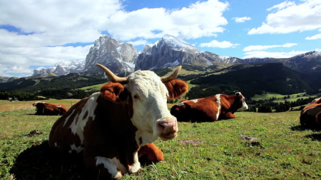 WS Cattle chewing cud in an alpine meadow / Italy