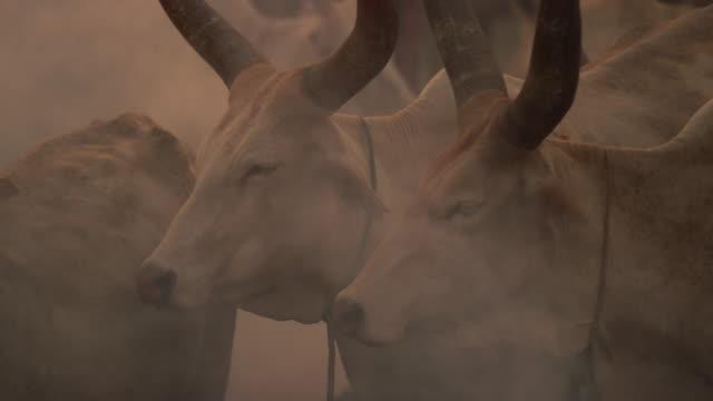 vídeos y material grabado en eventos de stock de cattle closing eyes in smoke / sudd swamps, south sudan, africa - translúcido