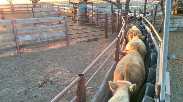 cattle corral and grass fed beef cattle steers - cattle stock videos & royalty-free footage