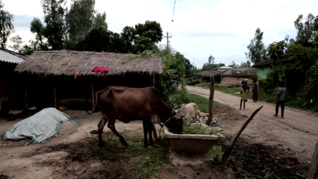 ms cattle cows eating from trough outside small onestory building w/ thatched roof unidentifiable people walking up narrow dirt road right utility... - thatched roof stock videos & royalty-free footage