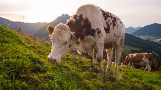 rinder-kühe grasen auf einer wiese bei sonnenuntergang - hausrind stock-videos und b-roll-filmmaterial