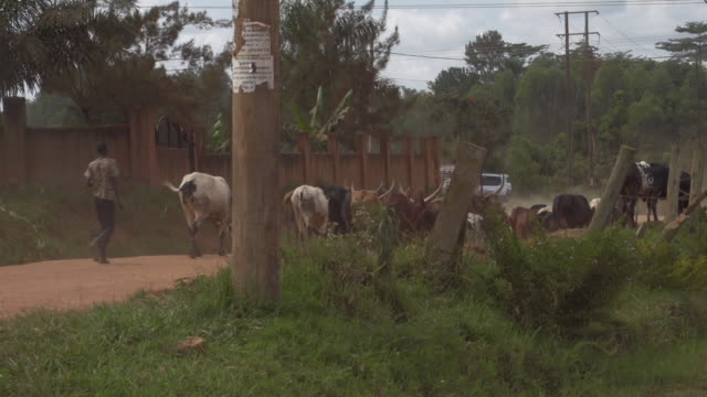 cattle crossing - herding stock videos and b-roll footage