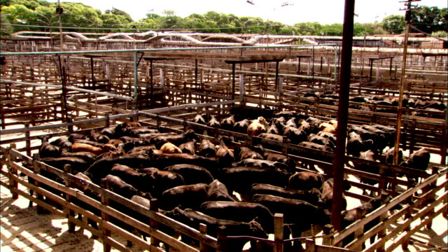 cattle crowd corrals at a feedlot. available in hd. - cattle stock videos & royalty-free footage