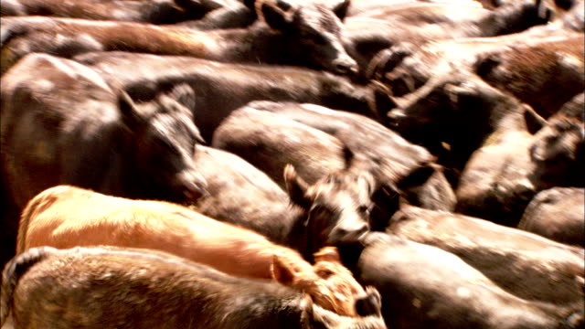cattle crowd each other in a feedlot. available in hd. - rind stock-videos und b-roll-filmmaterial
