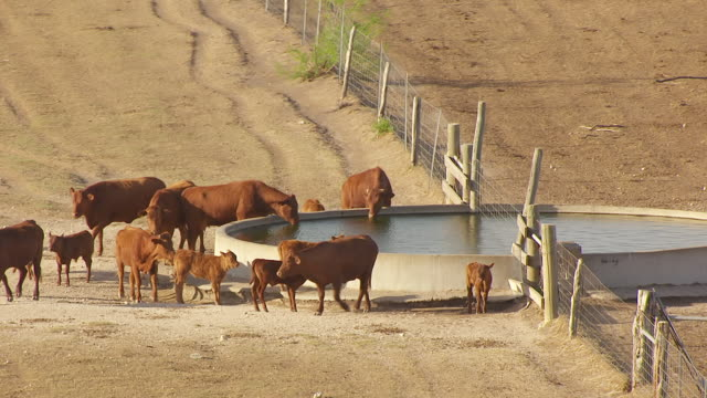 CU AERIAL cattle drinking and of King Ranch / Kingsville, Texas, United States