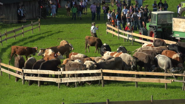 Cattle drive from the summer mountain pastures, Obermaiselstein, Allgau, Bavaria, Germany, Europe