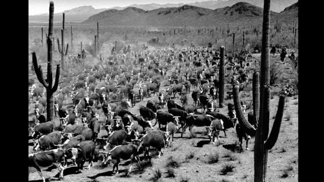 cattle drive in desert. cattle drive in desert on january 01, 1940 - cattle drive stock videos & royalty-free footage