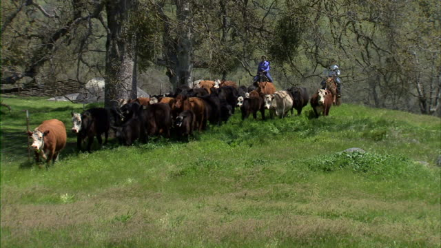 cattle drive long shot. - cattle drive stock videos & royalty-free footage