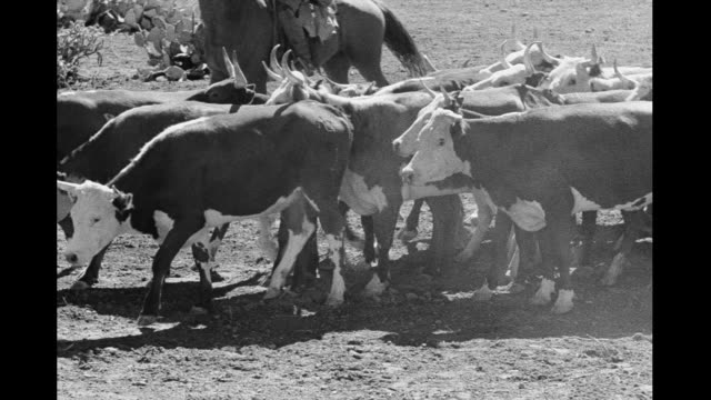cattle drive through the desert - cattle drive stock videos & royalty-free footage