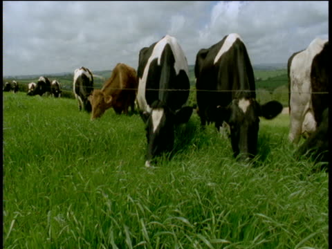 Cattle eat grass near electric fence, Devon