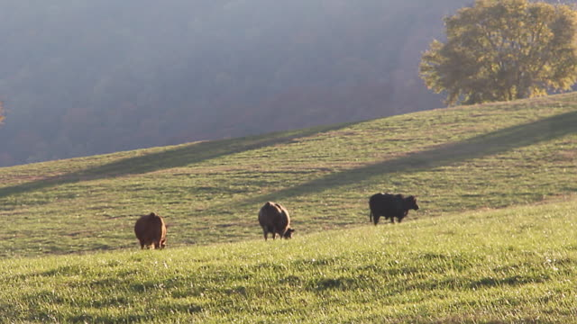 cattle eating on slope of ranch under sunlight - kleine gruppe von tieren stock-videos und b-roll-filmmaterial