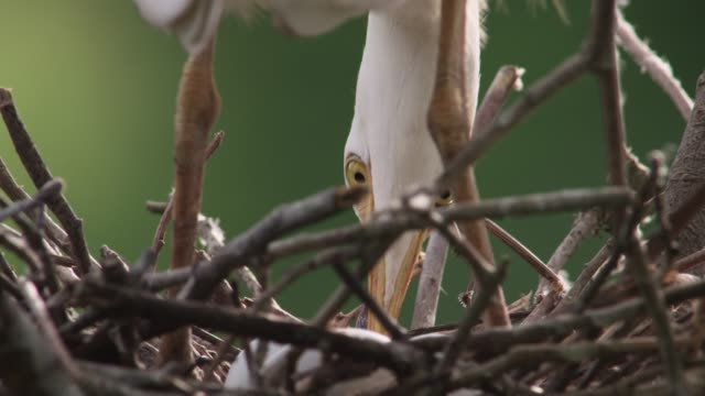 Cattle egret adjusts eggs, USA