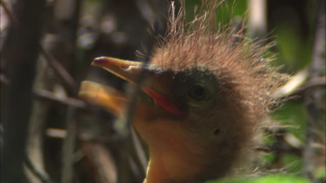 a cattle egret chick chirps in its nest. - birdsong stock videos & royalty-free footage