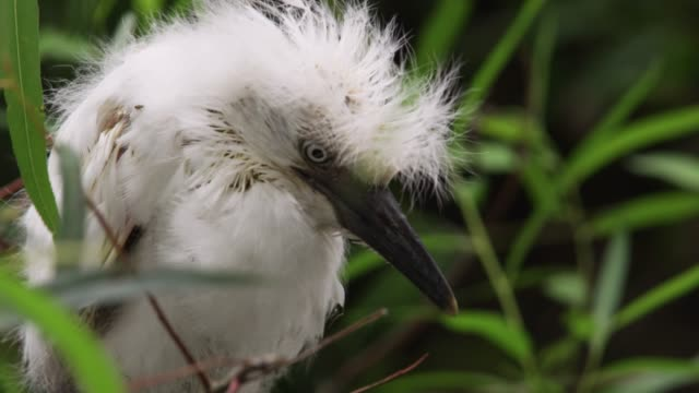 cattle egret chick clings to branch, usa - egret stock videos & royalty-free footage