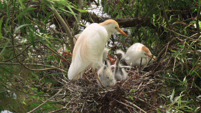 cattle egret chicks fight in nest, usa - reihergattung egretta stock-videos und b-roll-filmmaterial