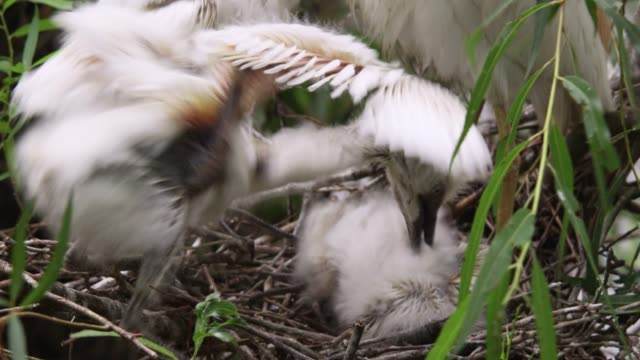 cattle egret chicks fight, usa - reihergattung egretta stock-videos und b-roll-filmmaterial