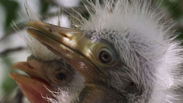 cattle egret chicks in nest, usa - reihergattung egretta stock-videos und b-roll-filmmaterial