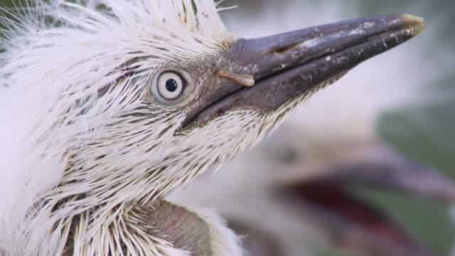 Cattle egret chicks in nest, USA