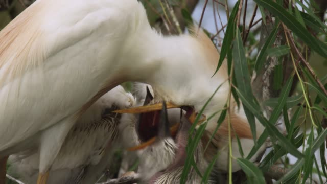 cattle egret feeds chicks, usa - reihergattung egretta stock-videos und b-roll-filmmaterial