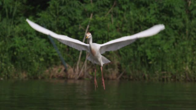 cattle egret flies and lands in tree, usa - reihergattung egretta stock-videos und b-roll-filmmaterial