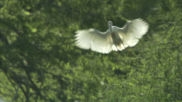 Cattle Egret landing.
