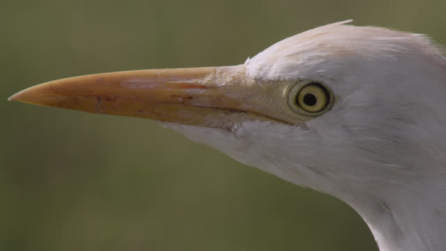cattle egret (bubulcus ibis) looks around on savannah, kenya - egret stock videos and b-roll footage