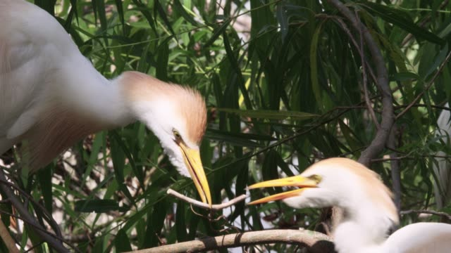 cattle egret passes nesting material, usa - egret stock videos & royalty-free footage