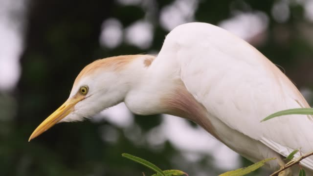 Cattle egret perches on branch, USA