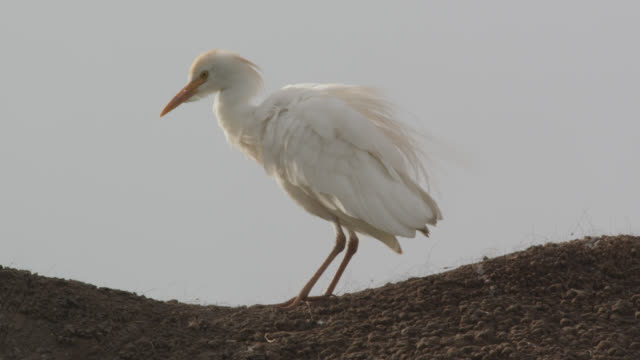 cattle egret (bubulcus ibis) preens on back of african elephant (loxodonta africana), kenya - egret stock videos and b-roll footage