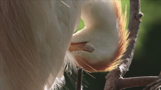 Cattle egret preens, USA