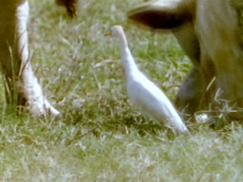 cattle egret standing next to grazing cattle. cattle egret walking in front of grazing dairy cow. - 共生関係点の映像素材/bロール