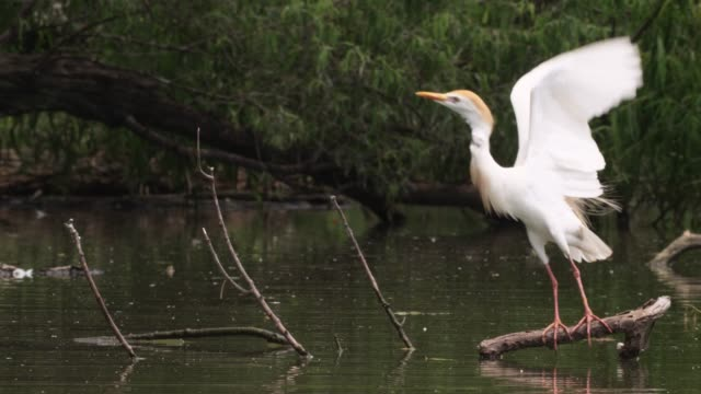 cattle egret takes off in swamp, usa - egret stock videos and b-roll footage