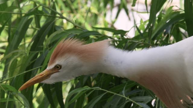 Cattle egret takes off, USA