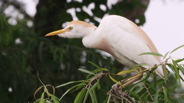cattle egret takes off, usa - reihergattung egretta stock-videos und b-roll-filmmaterial