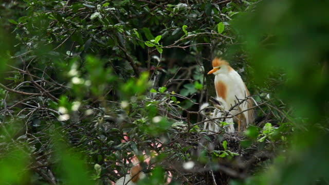 cattle egret with babies - protection stock videos & royalty-free footage
