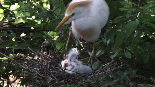 cattle egret with chicks in nest, louisiana, usa - reihergattung egretta stock-videos und b-roll-filmmaterial