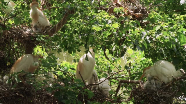 Cattle egrets and chicks, USA