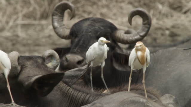 cattle egrets balance on back of mehsana buffalo, india. - balance stock videos & royalty-free footage