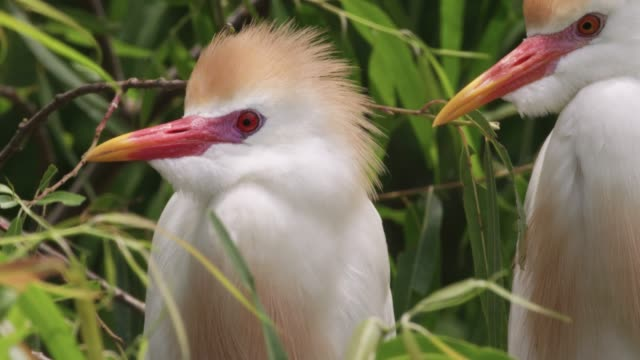 Cattle egrets in colony, USA