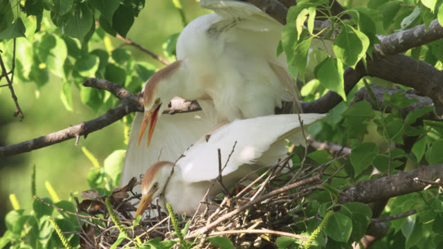 cattle egrets mate on nest, louisiana, usa - reihergattung egretta stock-videos und b-roll-filmmaterial