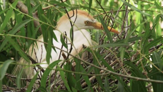 Cattle egrets, USA