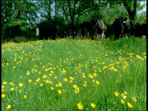 Cattle enter meadow, Devon
