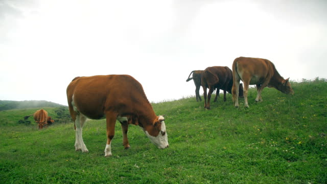 cattle feeding in wumeng prairie,guizhou,china. - grazing stock videos & royalty-free footage