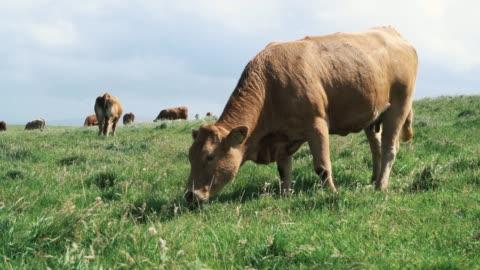 boskap utfodring nära klipporna på vilda atlanten långt, irland - nötkreatur bildbanksvideor och videomaterial från bakom kulisserna