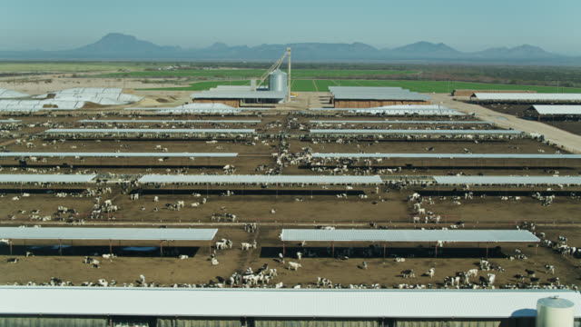 cattle feedlot with irrigated fields in arizona desert - drone shot - cattle stock videos & royalty-free footage