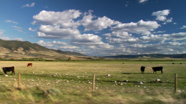 cattle graze in a pasture in centennial, wyoming. - wyoming ranch stock videos & royalty-free footage