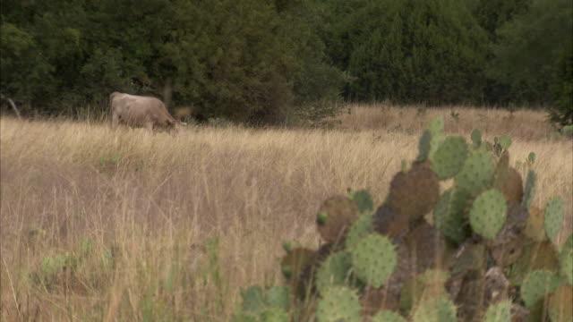 Cattle graze near cactus in an arid field. Available in HD.